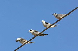 White winged tern {Chlidonias leucoptera} / White winged black tern, four perched on wire, Sohar, Oman  -  Hanne & Jens Eriksen