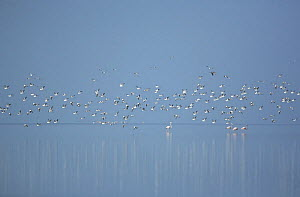 Crab plovers {Dromas ardeola} flock in flight over flamingos with reflections in water, Barr Al Hikman, Oman  -  Hanne & Jens Eriksen