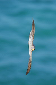 Sooty falcon {Falco concolor} flying vertically over water, Ras as Sawadi, Oman - Hanne & Jens Eriksen