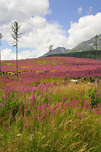 Landscape years after storm flattened all trees, High Tatra Mountains, Slovakia - Hanne & Jens Eriksen