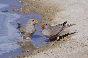 Trumpeter finch {Buchanetes githagineus} pair at water's edge, Tudhu, Oman - Hanne & Jens Eriksen