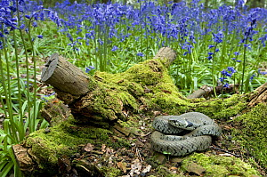 Grass snake (Natrix natrix) basking on tree stump among Bluebells, Hertfordshire, England. UK  -  Andy Sands