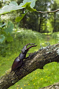 Stag Beetle (Lucanus cervus) male on Oak branch with woodland ride, West Sussex, England. UK - Andy Sands