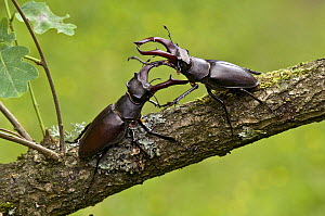 Stag Beetle (Lucanus cervus) two males fighting, West Sussex, England. UK - Andy Sands