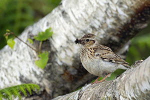 Woodlark (Lullula arborea) perched on Silver Birch with food, Hampshire, England. UK  -  Andy Sands