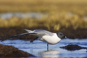 Sabine's Gull (Xema sabini) sitting in a pond, stretching, on arctic tundra of Barrow, Alaska, USA. June - Roy Mangersnes