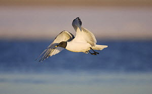 Sabine's Gull (Xema sabini) flying in midnight sun on the arctic tundra of Barrow, Alaska, USA. June - Roy Mangersnes