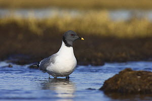 Sabine's Gull (Xema sabini) sitting in a pond on the arctic tundra of Barrow, Alaska, USA. June - Roy Mangersnes