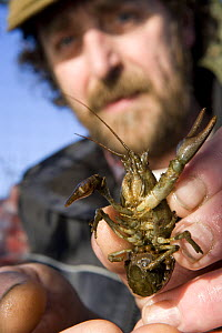 Research scientist examing a native White Clawed Crayfish {Austropotamobius pallipes} female with eggs, river Lune, Cumbria, UK  -  Jason Smalley