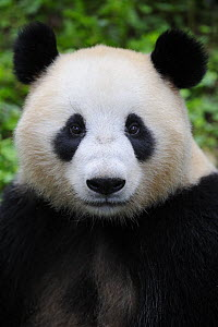 Head portrait of a Giant panda (Ailuropoda Melanoleuca) Bifengxia Giant Panda Breeding and Conservation Center, Yaan, Sichuan, China  -  Eric Baccega
