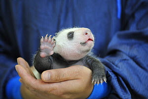 Keeper nursing a 3 weeks old baby panda at Bifengxia Giant Panda Breeding and Conservation Center,Yaan, Sichuan, China (Ailuropoda melanoleuca) - Eric Baccega