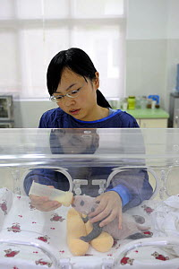 Keeper bottle feeding a 3 weeks old baby panda at Bifengxia Giant Panda Breeding and Conservation Center,Yaan, Sichuan, China (Ailuropoda melanoleuca) - Eric Baccega