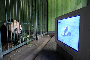 Male giant panda aged 5 years watching mating video for stimulation at Bifengxia Giant Panda Breeding and Conservation Center,Yaan, Sichuan, China (Ailuropoda melanoleuca) - Eric Baccega