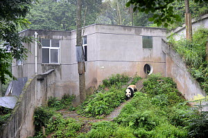 Giant panda in enclosure at Bifengxia Giant Panda Breeding and Conservation Center, Yaan, Sichuan, China (Ailuropoda melanoleuca) - Eric Baccega