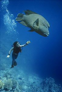 Diver with Giant Napoleon / Humphead Wrasse (Cheilinus undulatus) Red Sea. Model released. - Jeff Rotman