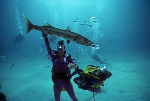 Close-up of divers interacting with Giant Great Barracuda (Sphyraena barracuda) in Bahamas, Caribbean Sea Model released.  -  Jeff Rotman