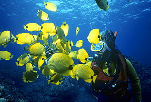 Diver surrounded by Lemon Butterflyfish (Chaetodon millaris). Hawaii, Pacific Ocean. - Jeff Rotman