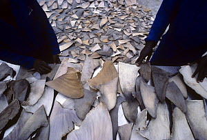 Drying Shark fins to trade with Hong Kong for Shark fin soup and medicine. Natal Sharks Board, Umhlanga, South Africa  -  Jeff Rotman