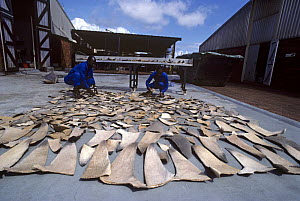 Drying Shark fins to trade with Hong Kong for Shark fin soup and medicine. Natal Sharks Board, Umhlanga, South Africa Model released.  -  Jeff Rotman