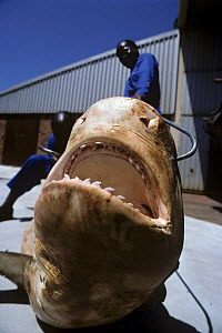Three meter Tiger Shark (Galeocerdo cuvier) caught in anti-shark net awaits dissection and jaw extraction. Natal Sharks Board, Umhlanga, South Africa  -  Jeff Rotman