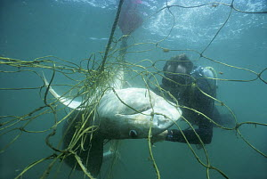 Diver examines 3-meter Tiger Shark (Galeocerdo cuvier) caught in anti-shark net off Durban Beach. Natal Sharks Board, Umhlamga, South Africa Model released.  -  Jeff Rotman