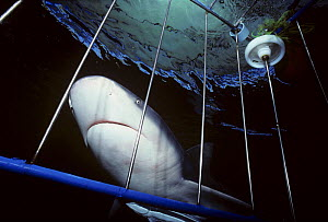 Close-up of Zambezi / Bull shark (Carcharhinus leucas) approaching shark cage. Responsible for most attacks in South Africa. Natal Sharks Board, Umhlanga, South Africa  -  Jeff Rotman