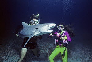 Divers remove long-line fishing hook from Tiger Shark (Galeocerdo cuvier), Bahamas, Caribbean Sea. Model released.  -  Jeff Rotman