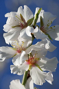 Flowers of Sweet Almond Tree (Prunus / Amygdalus communis) Sardinia, Italy  -  Kerstin Hinze