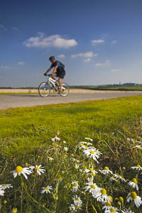 Lone cyclist riding on off-road track near Horton, Dorset, England, with Oxeye daisies in road verge  -  Adam Burton