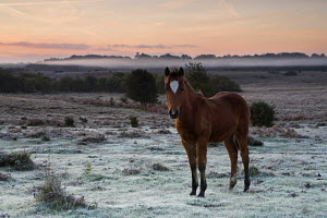 New Forest pony foal on frosty heathland, New Forest National Park, Hampshire, England  -  Adam Burton