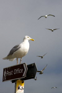 Seagull perched on Post Office sign in Padstow harbour, Cornwall, England  -  Adam Burton