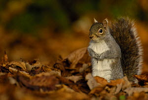 Grey squirrel {Sciurus carolinensis} adult standing alert among the fallen leaves of Horse Chestnut tree, Derbyshire, UK - Andrew Parkinson