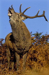Red deer {Cervus elaphus} adult stag roaring during the October rut, Leicestershire, UK - Andrew Parkinson