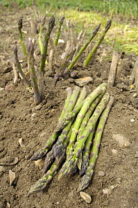 Freshly cut Asparagus {Asparagus officinalis} on allotment, Norfolk, UK, June  -  Gary K. Smith