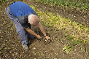 Man cutting Asparagus {Asparagus officinalis} on allotment, Norfolk, UK, June  -  Gary K. Smith