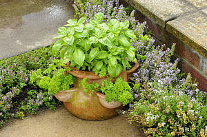 Herb garden with terracotta pot with Sweet Basil {Ocimum basilicum}, Curled Parsley and Creeping Thyme, Norfolk, UK  -  Gary K. Smith