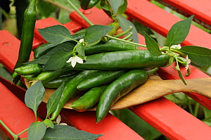 Home grown green chillies, 'heatwave' variety {Capsicum annum} freshly picked and laid out on chair in garden conservatory, Norfolk, UK, August - Gary K. Smith