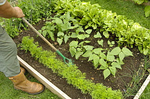 Gardener using a hand hoe to till soil between carrots, 'Nanco' variety, and French Beans, 'Pongo' variety, in a small raised bed vegetable plot, UK, August  -  Gary K. Smith