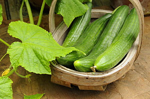 Home grown greenhouse Cucumbers, 'femspot' variety {Cucumis sp} in rustic trug on greenhouse staging, Norfolk, UK, June  -  Gary K. Smith