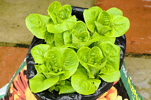 Lettuce, 'Little Gem' variety {Lactuca sativa} being grown in an old compost bag filled with garden compost on an urban patio, UK, August  -  Gary K. Smith