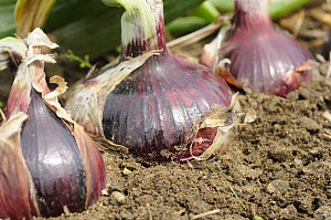 Homegrown Maincrop Onions, Red baron variety {Allium cepa}, on allotment ready for harvest, Norfolk, UK, August  -  Gary K. Smith