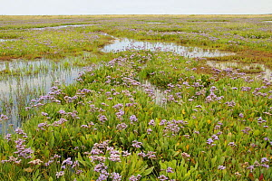 Sea Lavender {Limonium vulgare} growing on coastal marshes, with freshwater pools, Warham, Norfolk, UK, July, - Gary K. Smith