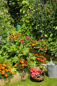 Summer garden with mixed vegetables and Sweet Pea and Marigold flowers growing in raised beds, Norfolk, UK, June  -  Gary K. Smith