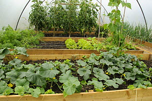 Vegetables, Tomatoes, Lettuce, Runner beans, Carrots and Melons growing in poly tunnel, Norfolk, UK, July  -  Gary K. Smith