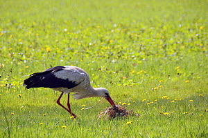 White stork (Ciconia ciconia) collecting nest material on Narew marshes, Poland.  -  Nick Upton