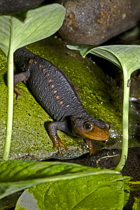 Himalayan / Crocodile Newt (Tylotriton verrucosus) on mossy rock. Occurs SE Asia, NE India and E Nepal. June 2OO8, Captive. - Rod Williams