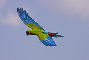 Military macaw (Ara militaris), occurs Central and South America. Vulnerable Species, May 2OO8, Captive  -  Rod Williams