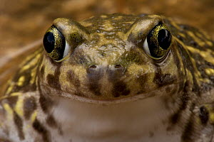 Couch's Spadefoot toad (Scaphiopus couchii) face portrait, Arizona, USA, captive  -  John Cancalosi