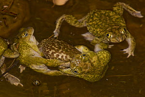 Couch's Spadefoot toads (Scaphiopus couchii) males fighting over female during mating season, Arizona, USA  -  John Cancalosi