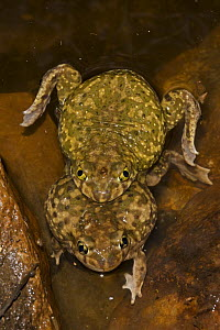 Couch's Spadefoot toads (Scaphiopus couchii) mating pair, Arizona, USA  -  John Cancalosi